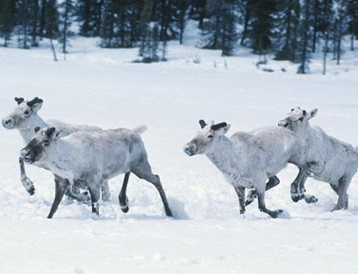 Little Smoky Caribou Range Rearing Facility